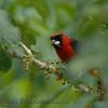 Masked Crimson Tanager (Ramphocelus nigrogularis)