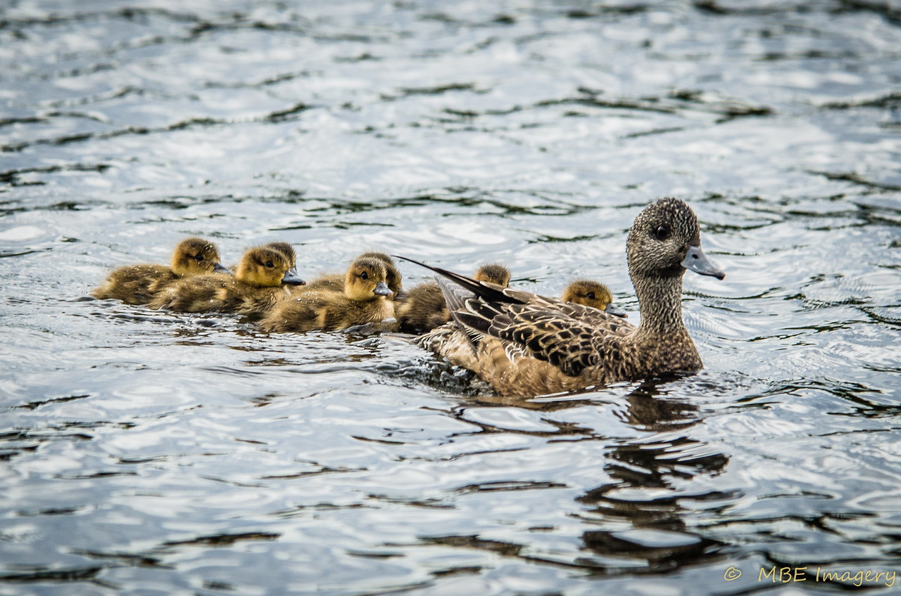 Wigeon with Chicks