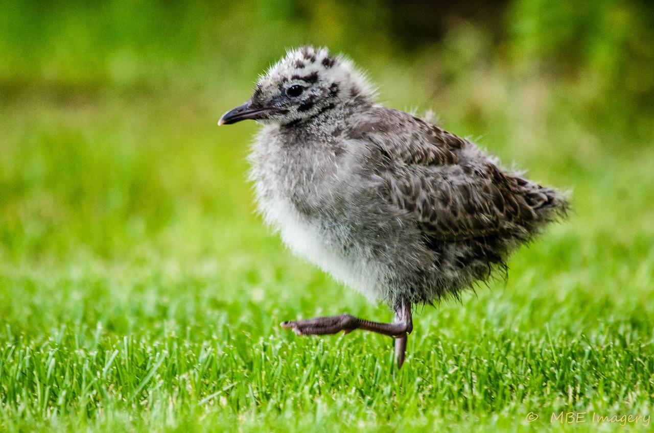 Mew Gull Chick