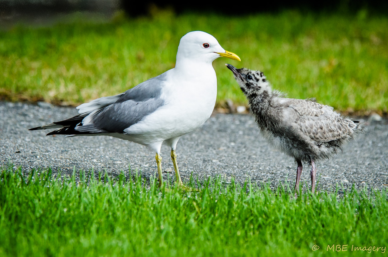 Mew Gull with Chick
