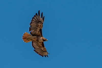 Red-tailed hawk in flight.  3666 Bumann road, Olivenhain, California.