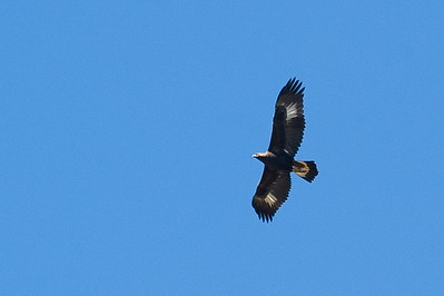 Immature golden eagle.   Cuyamaca lake, Cuyamaca, California.