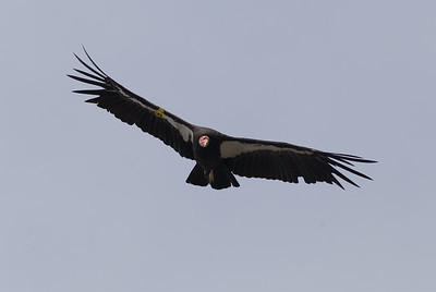 Condor.  Partington point, Highway 1, California.