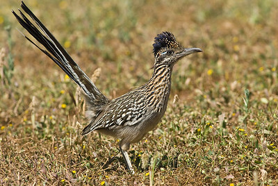 Greater roadrunner.  3666 Bumann road, Olivenhain, California.
