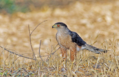 Sharp-shinned Hawk.  Bumann ranch, Olivenhain, California.