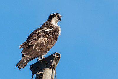 Osprey perches on sail mask.  White Point Marina, Morro Bay State park, California.
