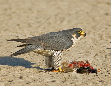 Peregrine Falcon eating duck.  Garst road, Salton Sea, California. 2008.