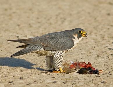 Peregrine Falcon eating duck.  Garst road, Salton Sea, California. 2008.