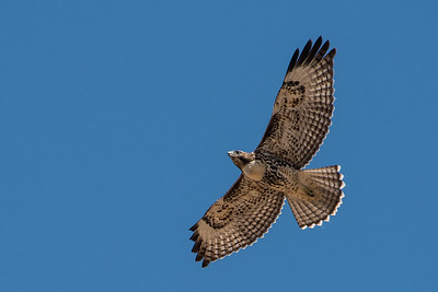 Juvenile red-tailed hawk in flight.  3666 Bumann road, Olivenhain, California.