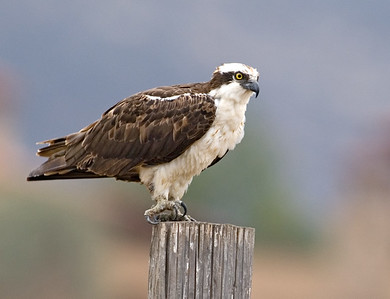 Osprey.  Bumann Ranch, Olivenhain,  California.