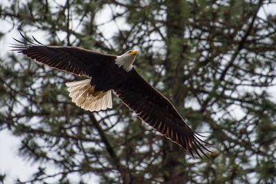 Bald eagle.  Lake Britton, California.
