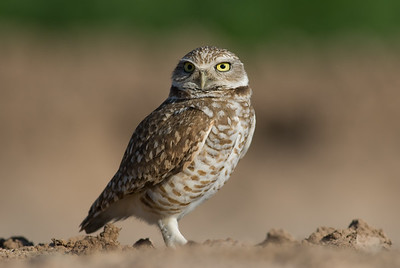 Burrowing owl.   Walker road, Salton Sea,  California.