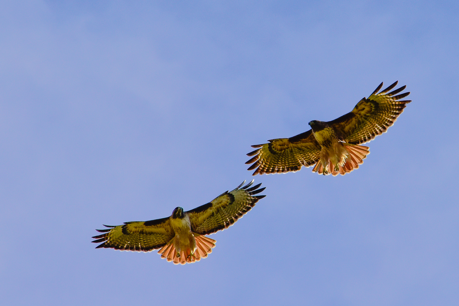 Red-tailed hawk in flight.  3666 Bumann road, Olivenhain, California.