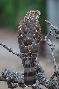 Cooper's Hawk.  Bumann ranch, Olivenhain, California.