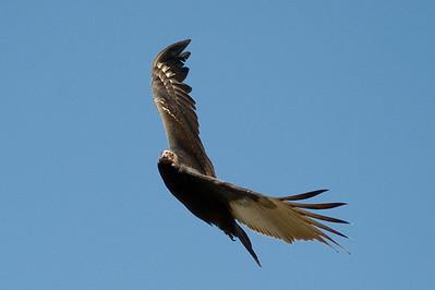 Turkey Vulture.  Cuyamaca lake, Cuyamaca, California.