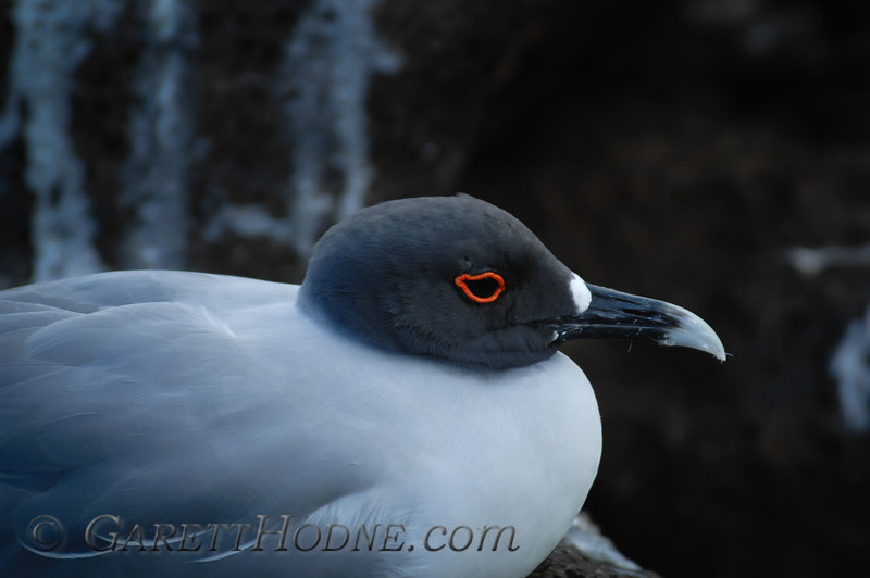 Swallow-tailed Gull (Creagrus furcatus)