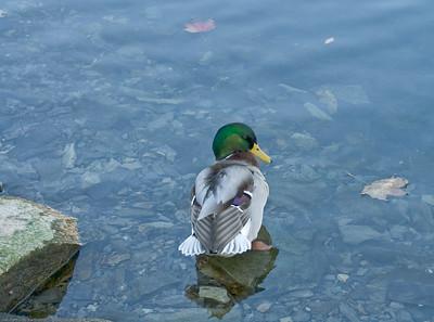 duckonrockinfall