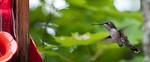 A humming bird found at CedarSong in the Haliburton area. Speedy little sucker!
