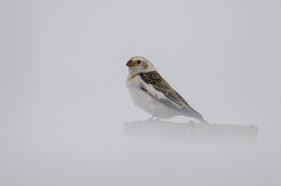 Snow bunting in a snowstorm