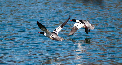 Mergansers of the St. Lawrence River