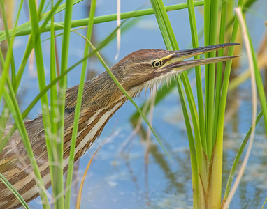 American Bittern, Hackberry Flats Wildlife Management Area, OK