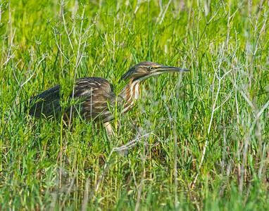 American Bittern, Hackberry Flats Wildlife Management Area, OK