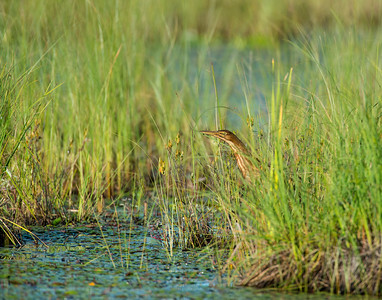 American Bittern, Seney National Wildlife Refuge, MI