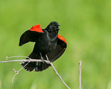 Red-winged Blackbird, Hagerman National Wildlife Refuge, Texas.