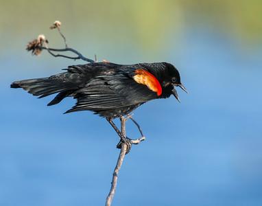 Red-winged Blackbird, Hackberry Flats Wildlife Management Area, OK