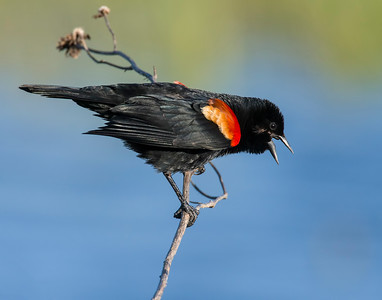 Red-winged Blackbird, Hackberry Flats Wildlife Management Area, OK