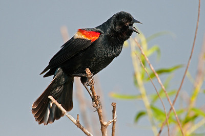Redwinged Blackbird, Hackberry Wildlife Management Area, Oklahoma