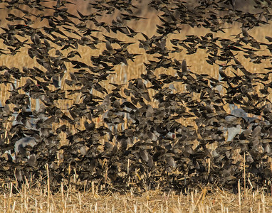 Black birds, Bosque Del Apache National Wildlife Refuge, NM