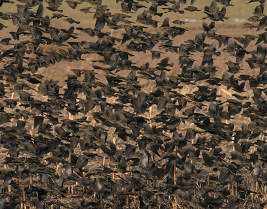 mixed Black Birds, Bosque Del Apache National Wildlife Refuge, NM