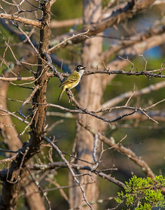 Black Capped Vireo, Wichita Mountains Wildlife Refuge, OK
