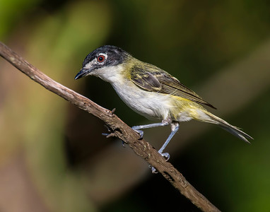 Black-capped Vireo, Wichita Mountains National Wildlife Refuge, OK