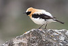 Black-eared Wheatear, Collalba rubia (Oenanthe hispanica)