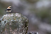 Black-eared Wheatear, Collalba rubia (Oenanthe hispanica)