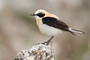 Black-eared Wheatear, Collalba rubia (Oenanthe hispanica).