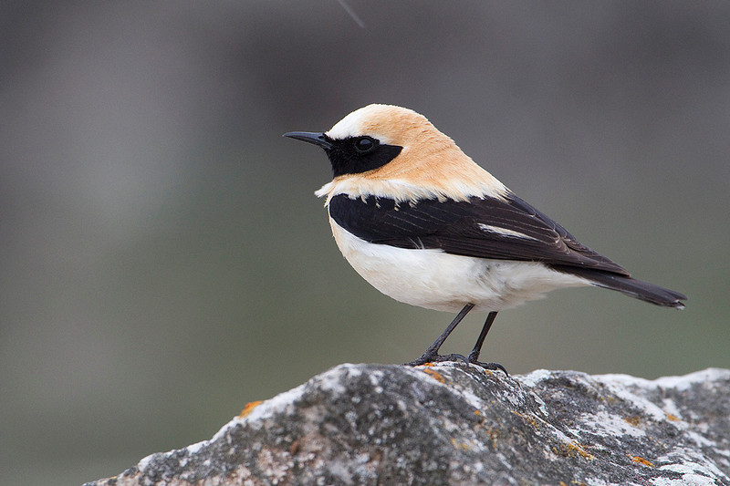 Black-eared Wheatear, Collalba rubia (Oenanthe hispanica). Color real del día de lluvia (la que prefiero).