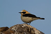 Black-eared Wheatear, Collalba rubia (Oenanthe hispanica). Almería