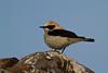 Black-eared Wheatear, Collalba rubia (Oenanthe hispanica). Almería