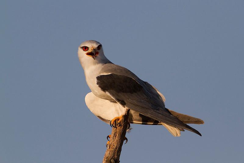 Black-shouldered Kite (Elanus caeruleus) Elanio