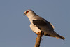Black-shouldered Kite (Elanus caeruleus) Elanio