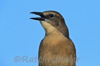 Boat-Tailed Grackle ♀
