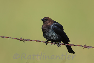 Brown-Headed Cowbird ♂