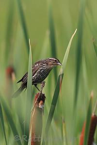 Red-Winged Blackbird ♀