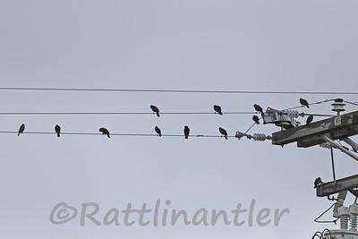 Tri-Colored Blackbirds