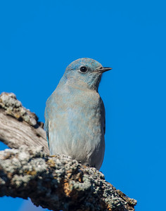 Mountain Blue Bird, Wichita Mountains National Wildlife Refuge