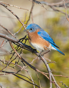 Eastern Bluebird, Taylor Lake, OK
