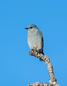 Mountain Blue Bird, Wichita Mountains National Wildlife Refuge